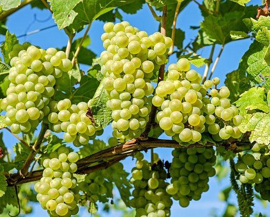 Green Grapes and Dreams